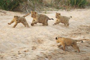 1462809120_lion