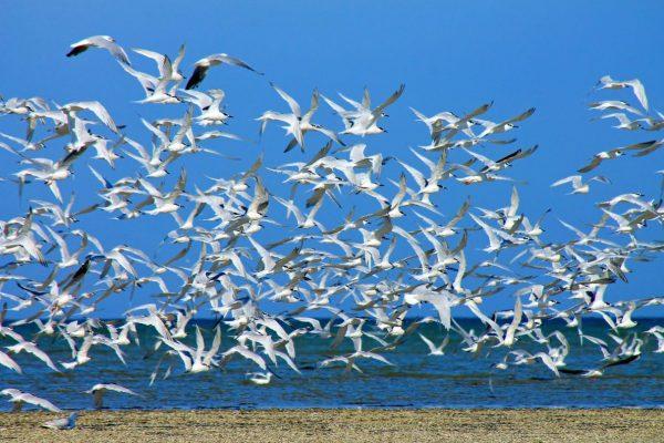 Птиці Сиваша фото О.Прихненко